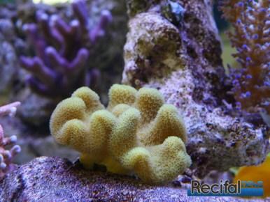 poisson-or-aquarium-recifal-sarcophyton-jaune