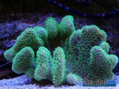 poisson-or-aquarium-recifal-sarcophyton-vert