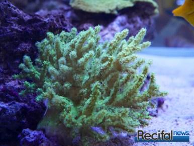 poisson-or-aquarium-recifal-sinularia-flexibilis