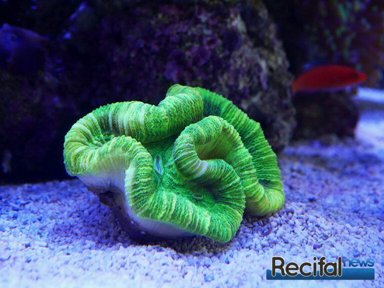 poisson-or-aquarium-recifal-trachy-vert