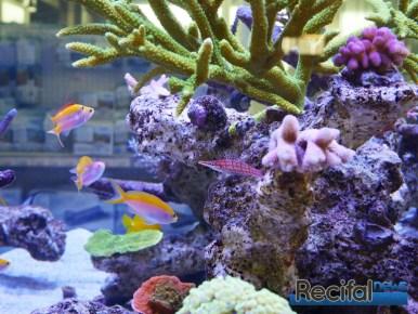 poisson-or-aquarium-recifal-typus