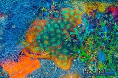 Une petite colonie avec tout le gradient de couleur entre le vert et le rouge. Les partie en croissance sont souvent très colorées.
