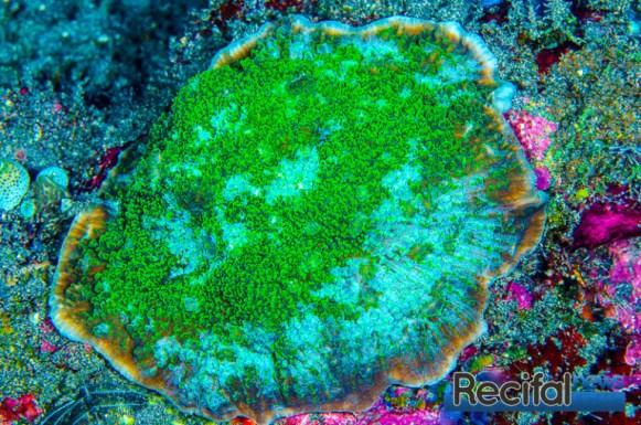 Une colonie verte d'Echinophyllia patula, légèrement exposée et donc encroûtante.