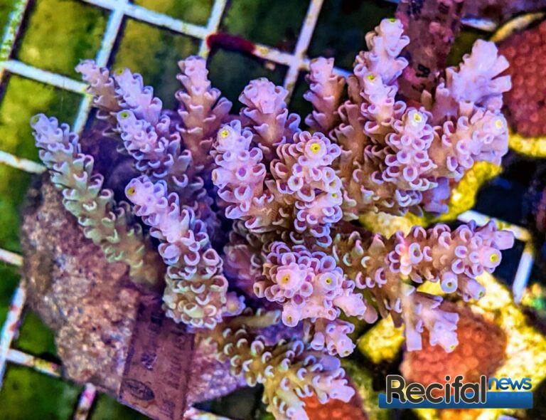 Une nouvelle souche violette