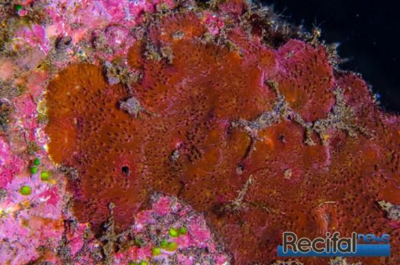 Une belle colonie rouge encroûtante sous un aplomb par 18 m de fond.