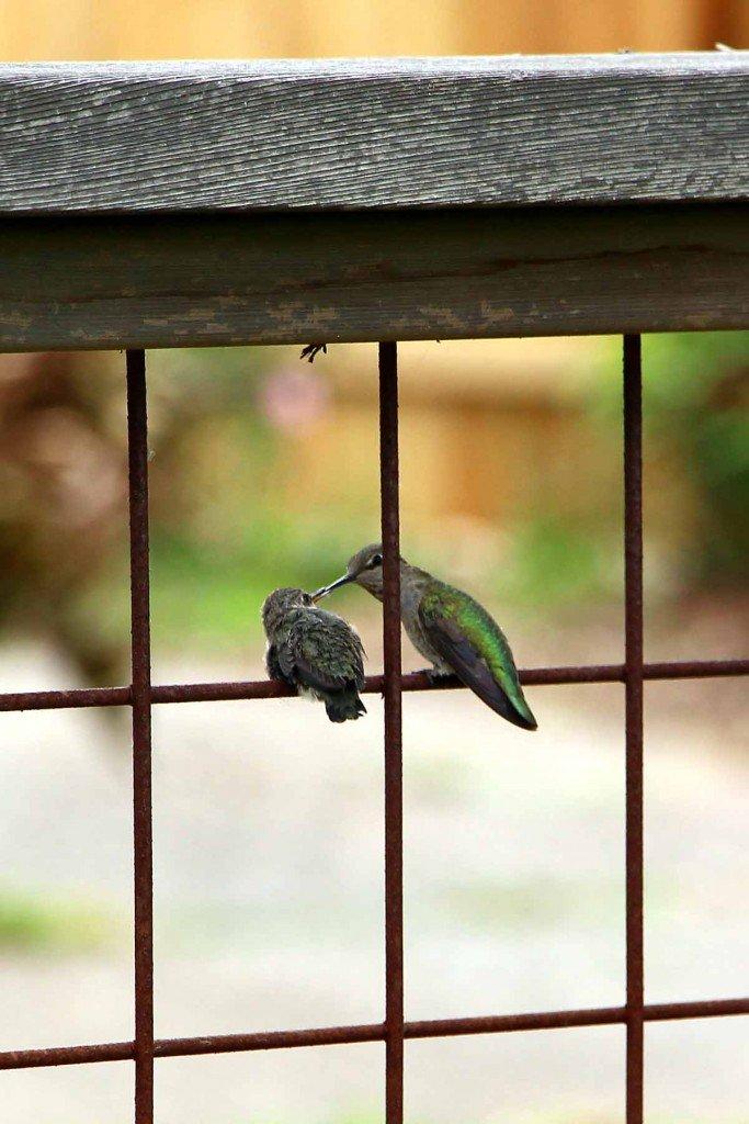 hummingbird-fledgling-being-fed