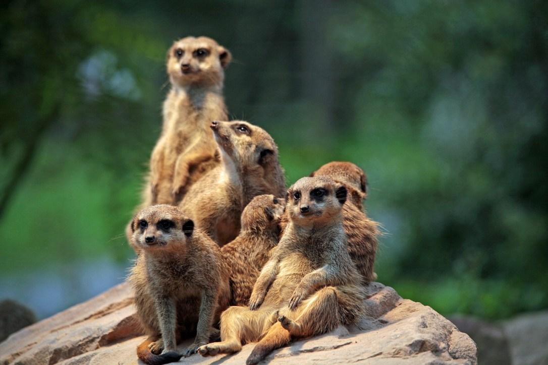 Meerkat - animal quiz