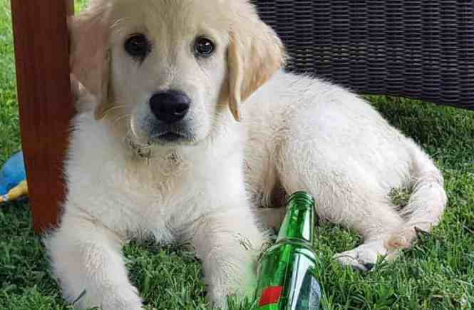 Cooper the Golden Retriever pup laying in the grass