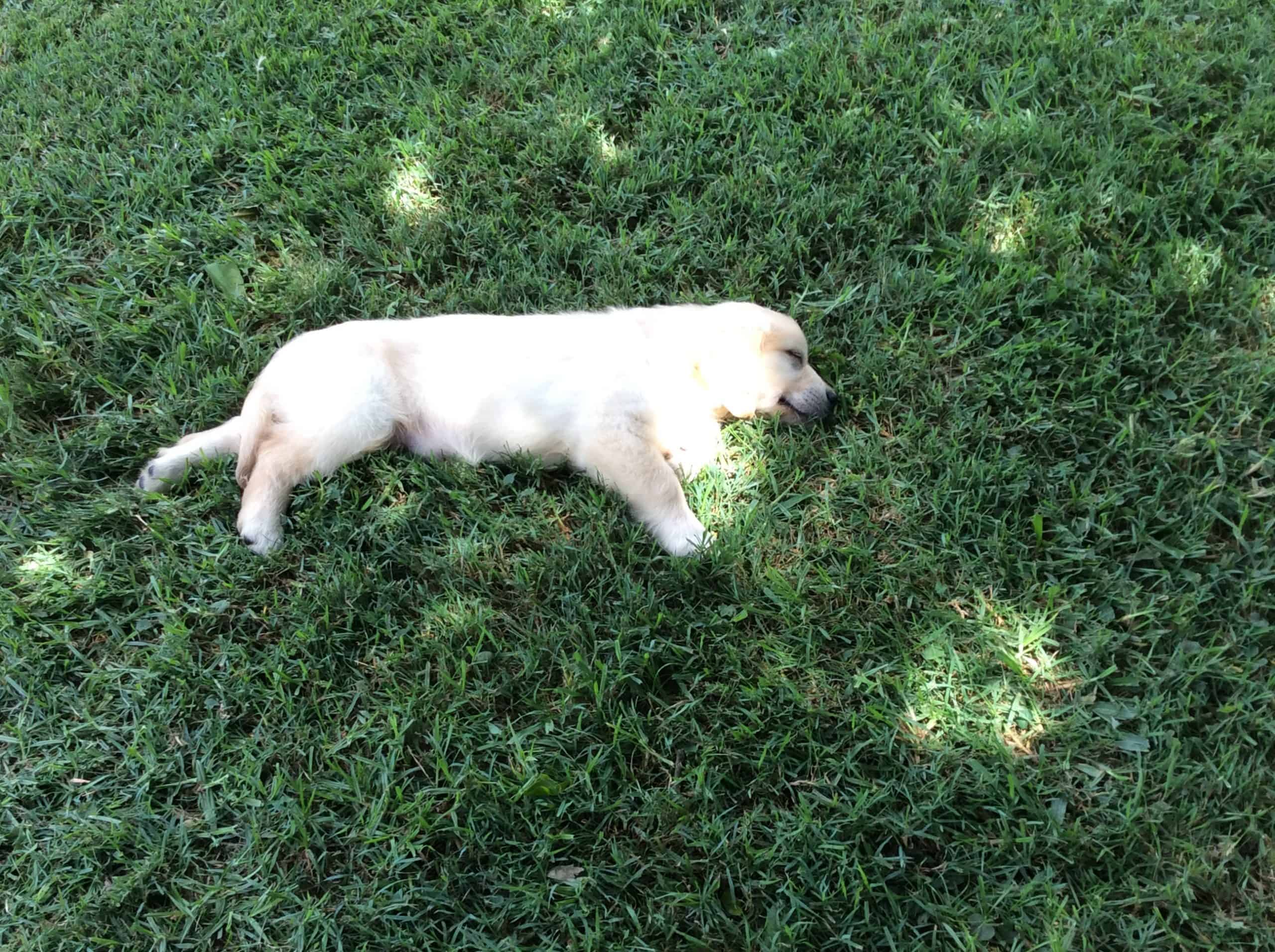 golden retriever pup asleep on the lawn