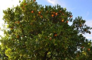 Orangers de la vallée du Douro, Portugal