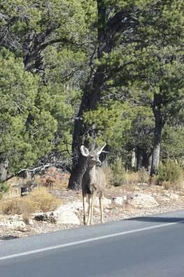 Biche au bord de route au Grand Canyon