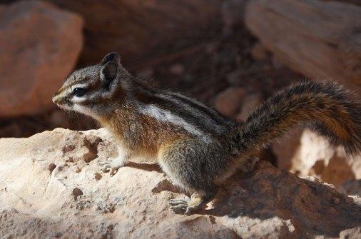 Ecureuil de Bryce Canyon, USA