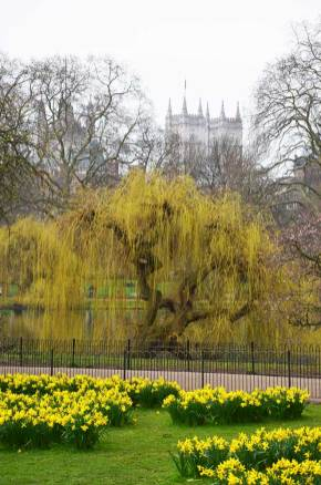 Vue sur un parterre de jonquilles à Londres