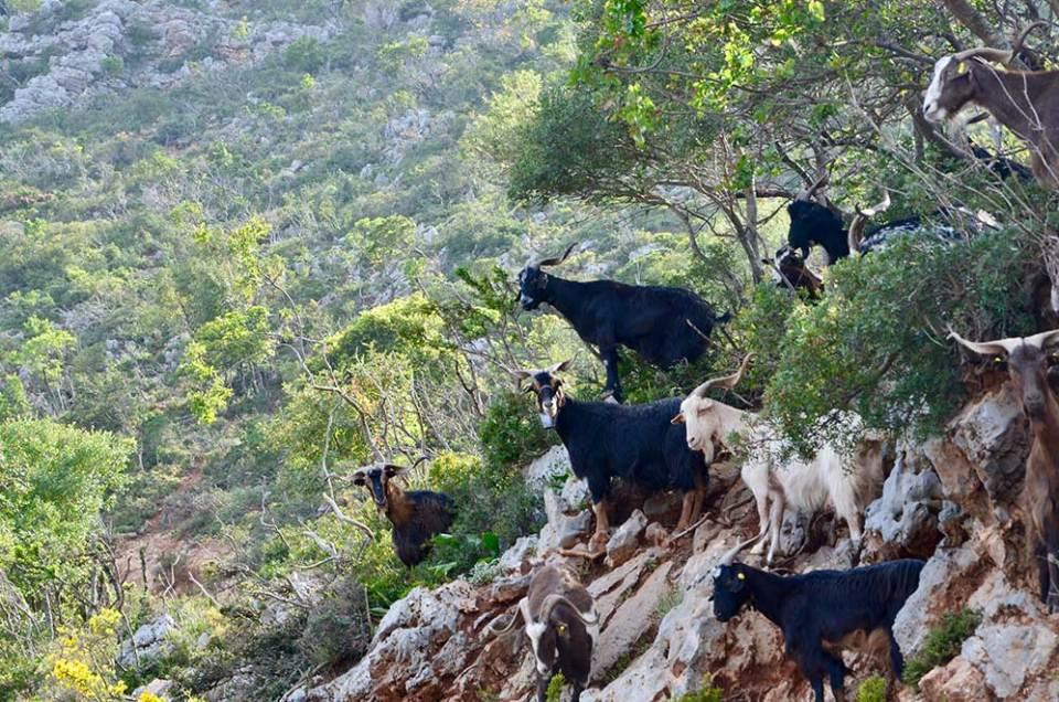 Troupeau de chèvres grecques en bord de route dans la montagne