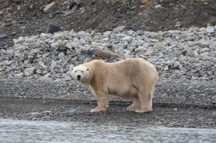 Ours blanc qui nous regarde depuis le bord du rivage, Svalbard
