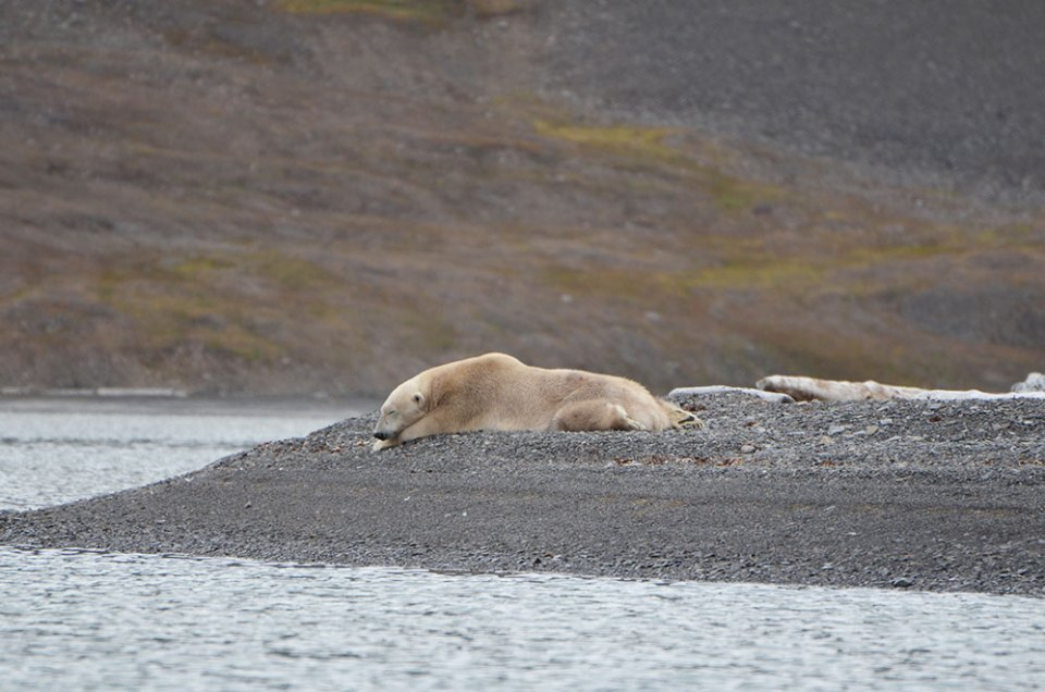Ours blanc couché qui dort, Svalbard