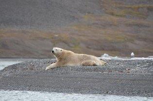 Ours polaire couché les pattes en arrières, Svalbard