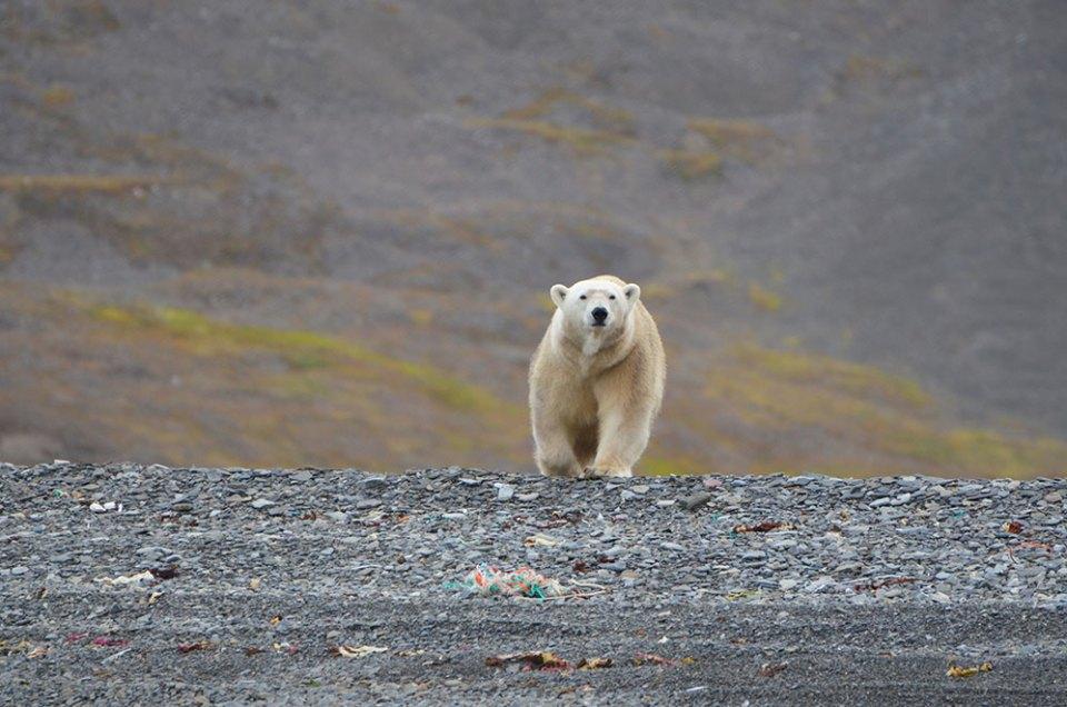 L'ours polaire avançant fièrement vers nous, Svalbard