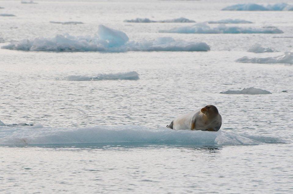 Un phoque barbu admire le paysage depuis son gros glaçon, Svalbard