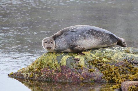 Phoque commun perché sur un rocher, Svalbard
