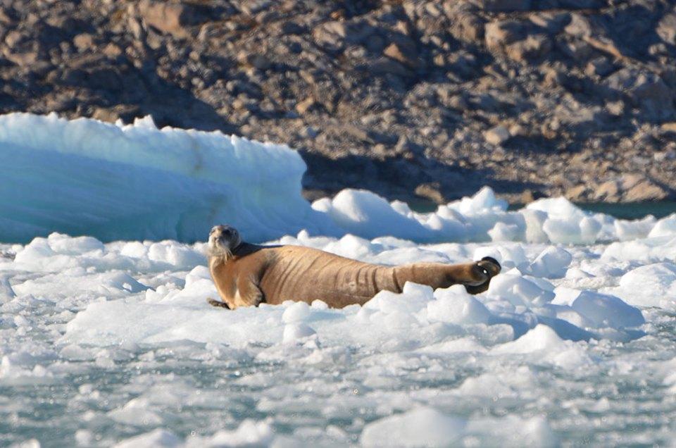Phoque barbu flottant sur son iceberg, Svalbard.