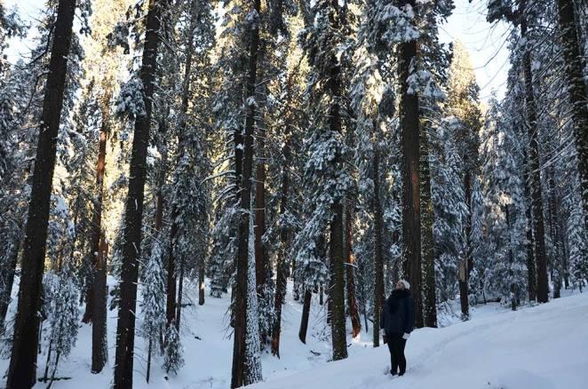 Marie-Catherine regardant la cime des arbres, Sequoia national park