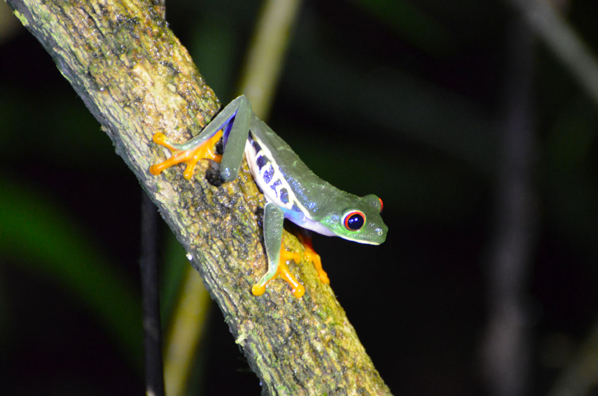 Grenouille aux yeux rouge, Arenal, Costa Rica