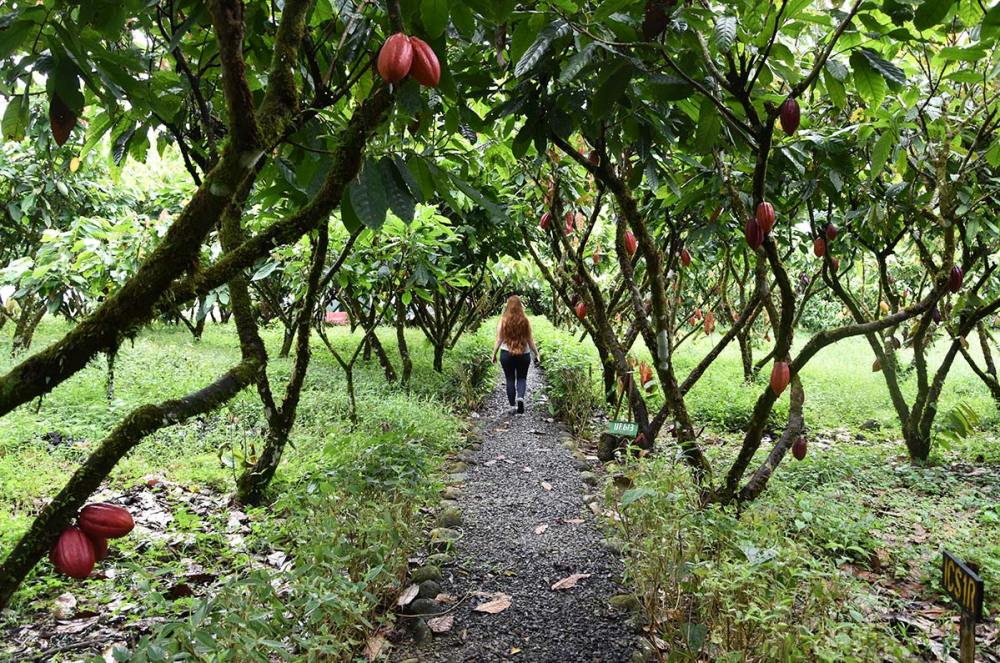 Cacaotiers de la Finca La Amistad Cacao Lodge au Costa Rica