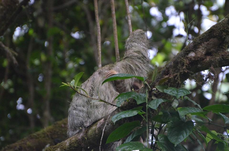 Paresseux qui se gratte dans un arbre au Costa Rica