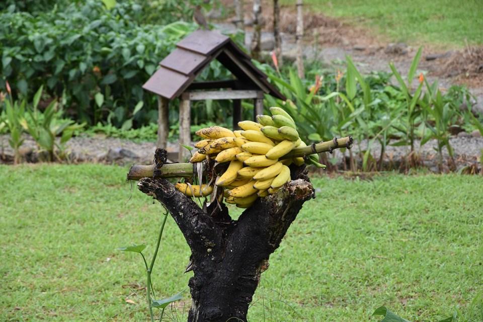 Régime de bananes au Costa Rica