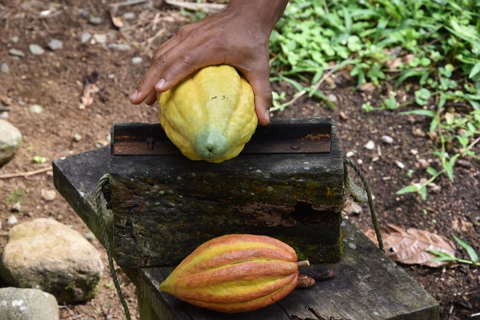 Cabosse de cacao de la Finca La Amistad Cacao Lodge au Costa Rica