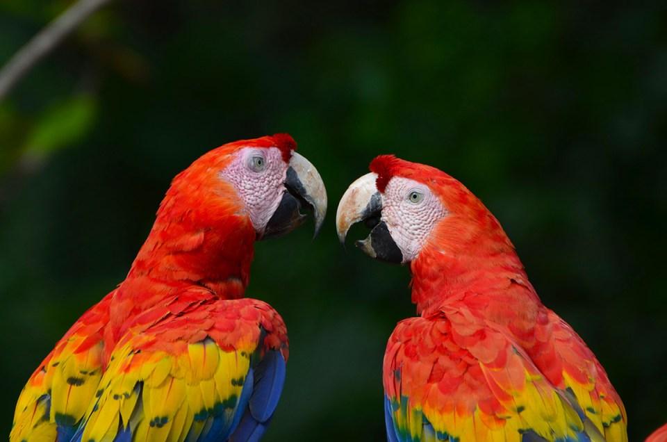 Deux aras qui se regardent, Parc Corcovado, Costa Rica