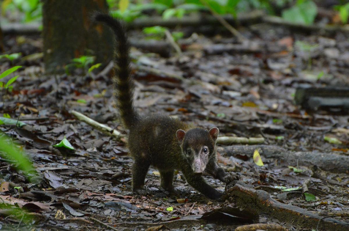 Bébé coati au Parc Corcovado, Costa Rica