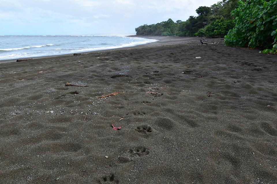 Traces de pattes de jaguar dans le sable du Parc Corcovado, Costa Rica