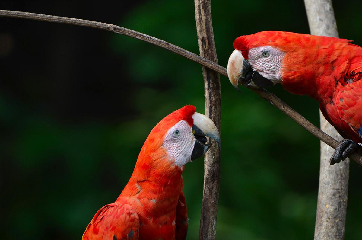 Deux aras qui se regardent amoureusement au Parc Corcovado, Costa Rica