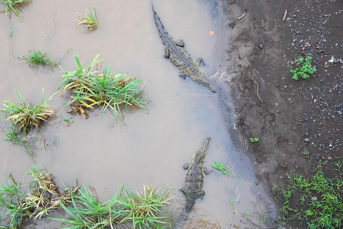 Vue plongeante sur deux énormes crocodiles, Costa Rica