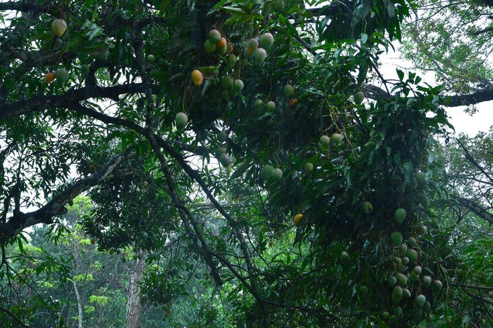 Manguier dans la péninsule de Nicoya, Costa Ricz