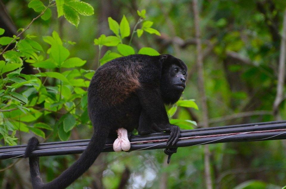 Singe hurleur sur un fil éléctrique, Costa Rica