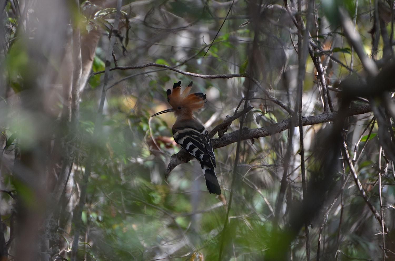 Oiseau, Parc Ankarafantsika, Madagascar