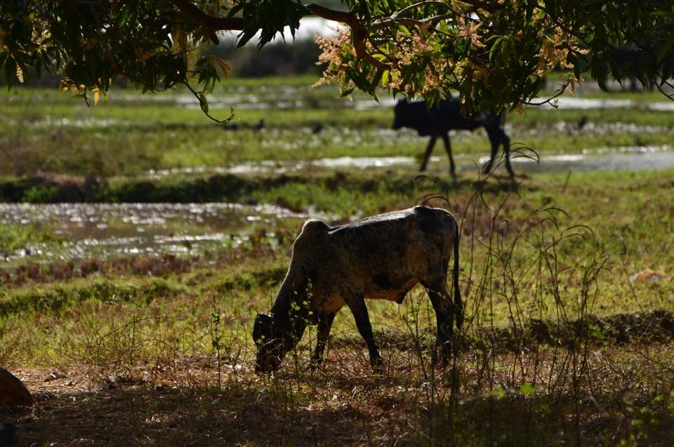 Rizière dans le Parc Ankarafantsika, Madagascar