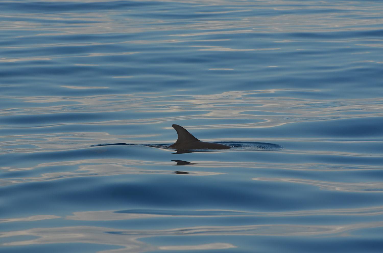 Aileron de dauphin dans l'eau, Nosy Be