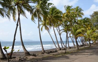 Rangée de palmiers sur la plage de la Grande Anse, Guadeloupe