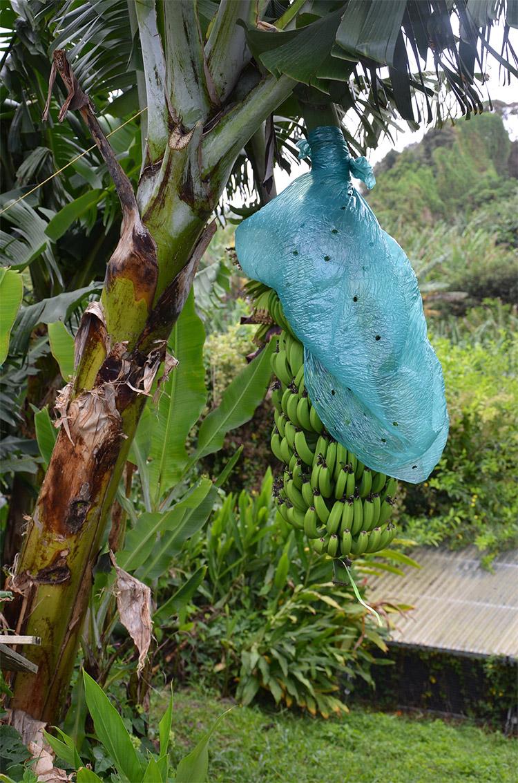 Régiment de banane sur un arbre, Guadeloupe