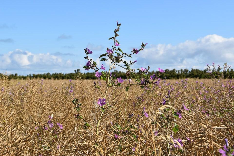 Champs de blé à côté du phare de Chassiron, Ile d'Oléron