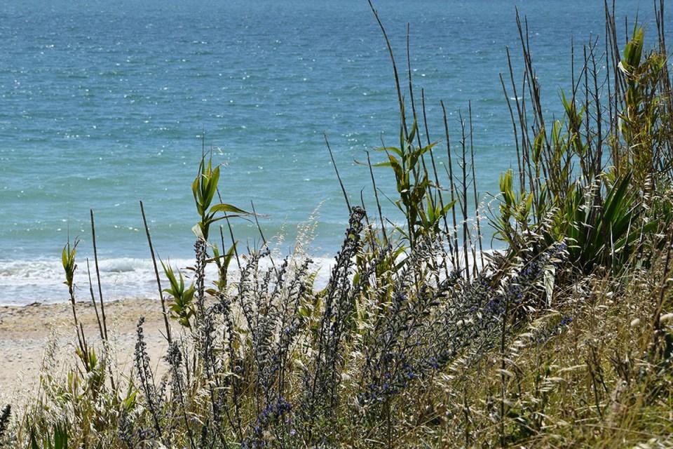 Végétation champêtre de la plage des Huttes, Ile d'Oléron