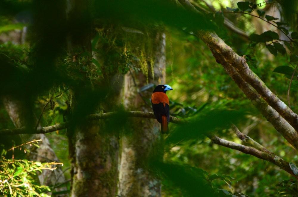 Eurycère de Prévost, oiseau, Parc Marojejy, Madagascar