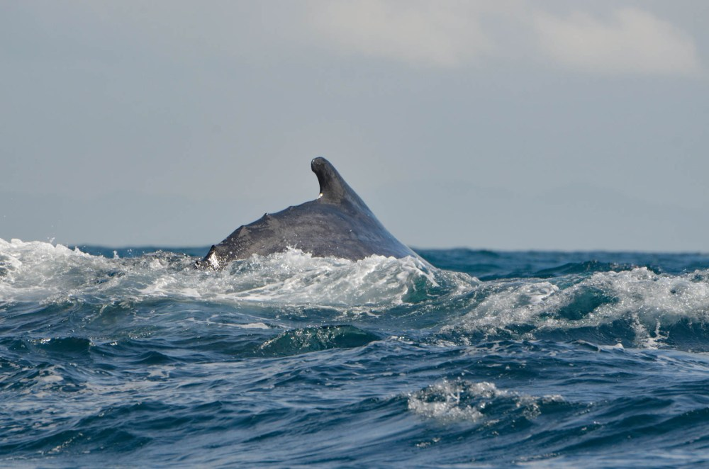 Baleine à bosse, île Sainte-Marie, Madagascar