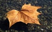 Fallen leaf in warm waters