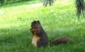 Munching on acorns
