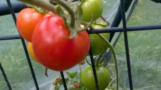 First tomato